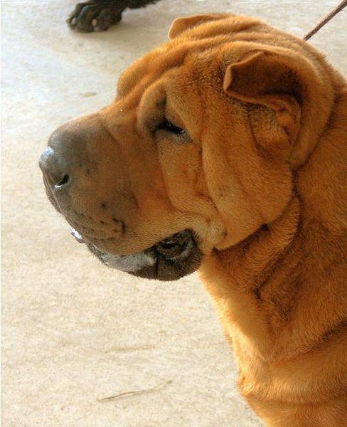 Собаки шарпей картинки